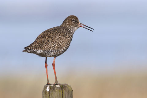 Communicative: Common Redshank