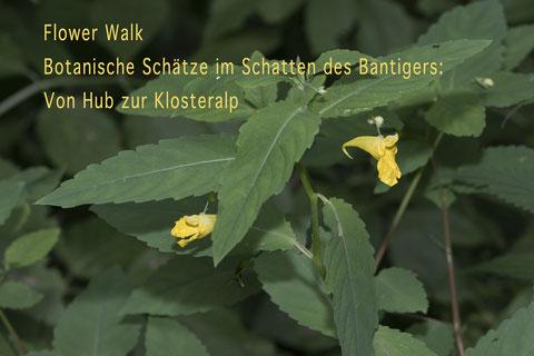 Wald-Springkraut –  Impatiens noli-tangere. Foto Françoise Alsaker