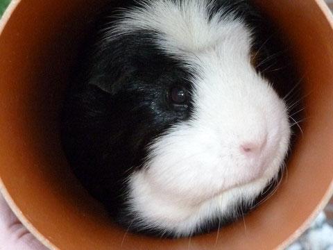 27.10.12 Nachdem innerhalb einer Woche GEORGE's Freundinnen Fergie und Chilli gestorben sind, ist er in ein anderes Meerschweinchenrudel in ein tolles Gehege gezogen. Wir wünschen ihm dort eine herrliche Zeit und werden ihn regelmäßig besuchen.