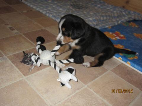 Als Treibhund habe ich die Kuh locker 'geschafft' (Alana)