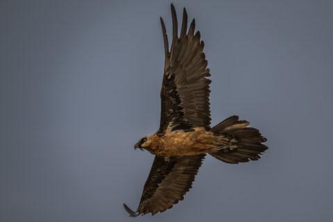 Lammergeier oder auch Bearded Vulture