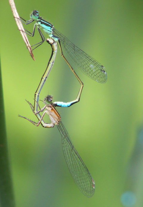 Libellen/Dragonflies, Rottenburg, Germany, 04.08.2014, Lumix Fz 18. Foto: Eleonore Schindler von Wallenstern.