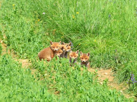 Junge Füchse