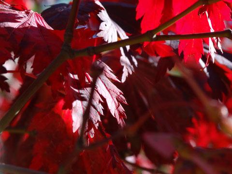 Bild: leuchtendes, rotes Laub in der Oktobersonne