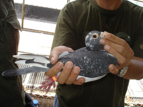 1500k以上の超長距離飛翔鳩