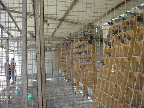 鳩舎内部(高温地帯ですから^^;)