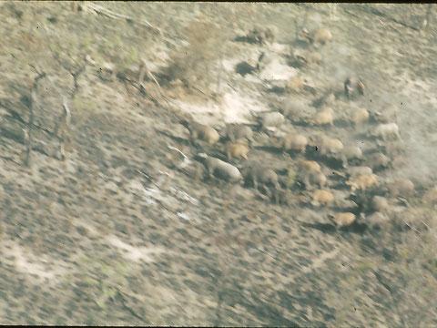 Buffles en saison sèche, vue aérienne