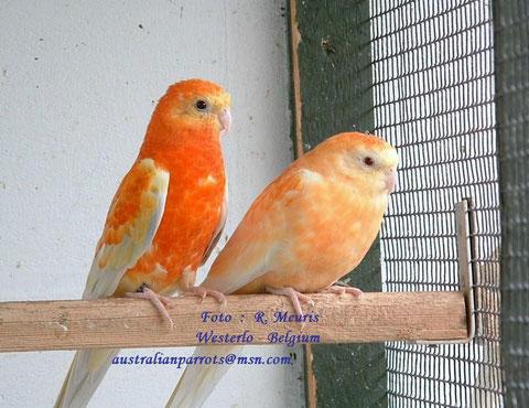 Pallid opaline oranje - kweekpaar 1