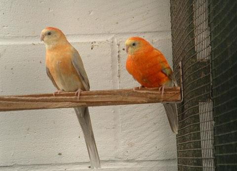 Pallid opaline oranje - kweekpaar 3