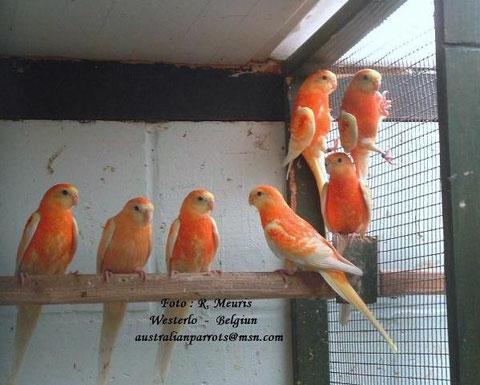 Lutino opaline oranje - jonge vogels