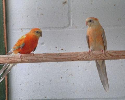 Pallid opaline oranje - kweekpaar 2