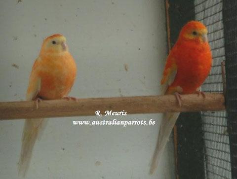 Pallid opaline ino orange x lutino opaline oranje