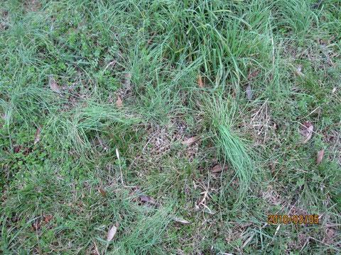 一見、草にしか見えない野蒜(ノビル)の群生。