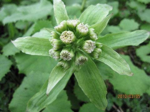 フキノトウ、北海道出身のフォークデュオ、ではなく、キク科フキ属の春の山菜。蕗の薹。