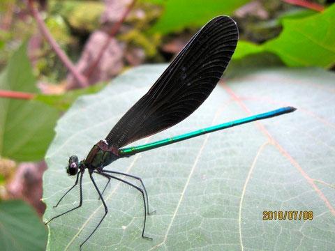 羽黒蜻蛉、(学名:Calopteryx atrata)カワトンボ科のトンボ。美しい金属光沢深緑色がある     の      は雄。黒の翅との色合いが格調高い。主に木陰や水辺に複数でいること多し。美しいポーズ!