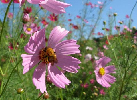 この詩にはやはりコスモスに蜂が相応しい。この機会を待っていた。