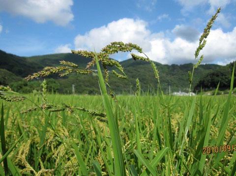 これが成長した稗、この種が落ちたら来年は稗だらけの田圃になる。