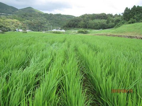 今日は風があって稲の間を吹き抜ける。見えない存在が通り抜けて行く。