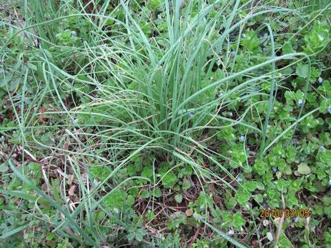 野蒜は葱科ユリ属の野草。