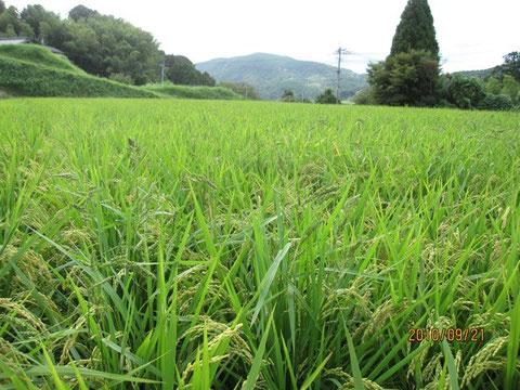 田圃、よく見ると黒っぽい草があちこち見える。それが稗。