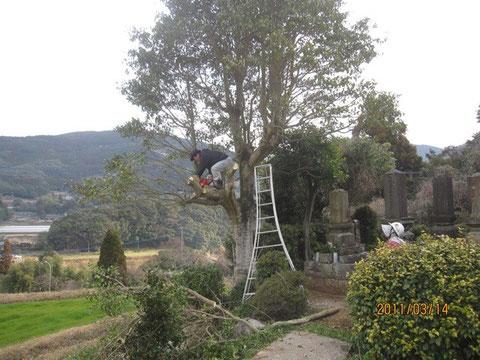 登ってチェンソーで枝を切って行くのは、プロでも難しい作業なのだそう。