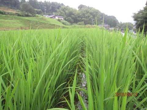 田圃の稲も随分成長して来た。