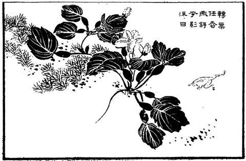 Fleur de ling (trapa bicornis ou châtaigne d'eau)