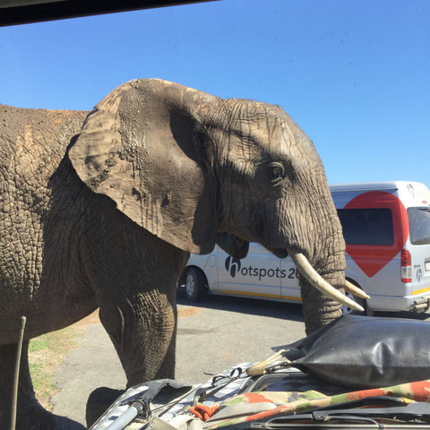 Die Elefanten im Addo NP sind sehr zutraulich.