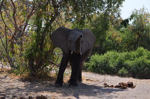 Junger Bulle im Chobe NP
