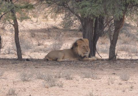 Löwe im Kalaghadi Transfronier National Park