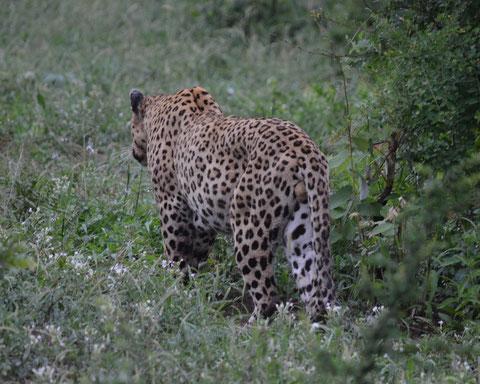 Leopard im Krüger National Park