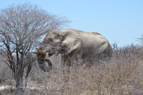 Alter im Schlamm gebadeter Elefanten Bulle im Etosha NP