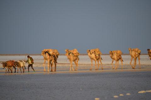 Hunderte von Kamelen täglich mit Salz aus der Danakill Wüste unterwegs.