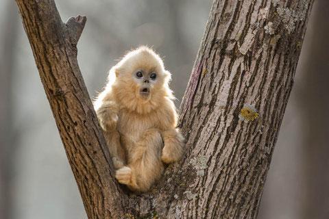 Non ce n'est pas une peluche, c'est un vrai petit singe doré chinois (©Disneynature/The Walt Disney Company).