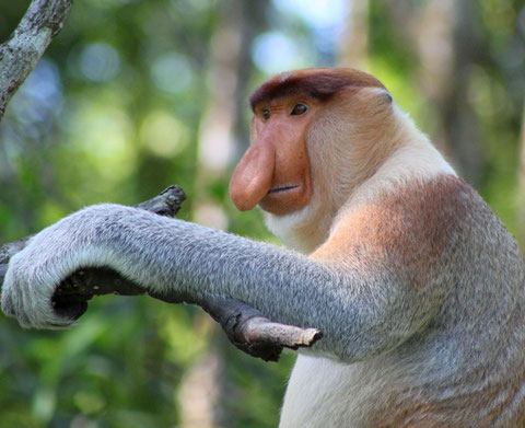Proboscis Monkey bij Sukau in Sabah op Maleisisch Borneo