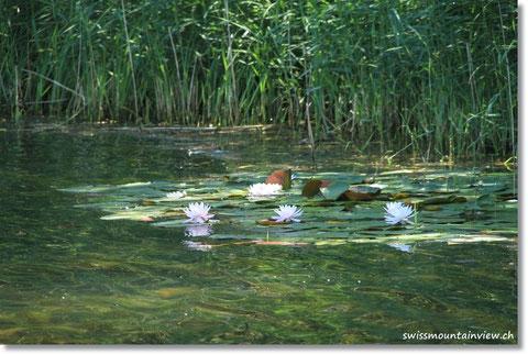 Seerosen säumen das Ufer.