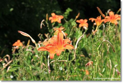 an wild wachsenden Lilien vorbei.