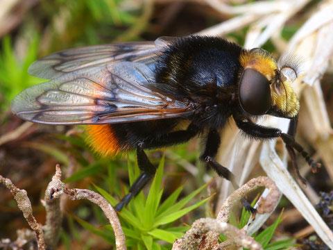 Hier ist der Name einfach: Hummelschwebfliege. Eine wirklich fast perfekte Hummelimitation.