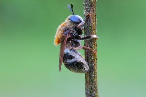 Eine Ameisenschwebfliege. Diese Art bedient sich wie die Wollschweber auch bei Ameisen als Bruthelfer. Die Eier werden von Ameisen mit eigenem Nachwuchs verwechselt und in das Nest gebracht. Dort wachsen die Tiere dan heran.