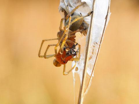 Das Männchen des Dornfingers ist ungehalten ob der Störung. Ammendornfinger sind die einzigen landbewohnenden Spinnen die Menschen mit ihrem Biss schaden können.