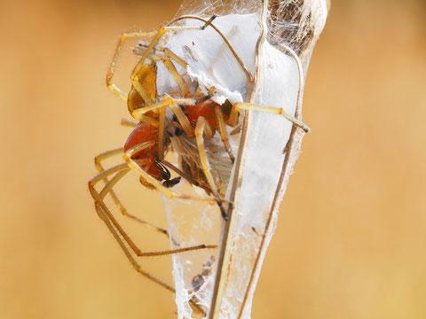 Ein Paar des Ammendornfingers. Diese Spinnenart soll angeblich ein neuer Zuwanderer aus dem Süden sein, allerdings ist schon lange das Verkommen bei uns bekannt.