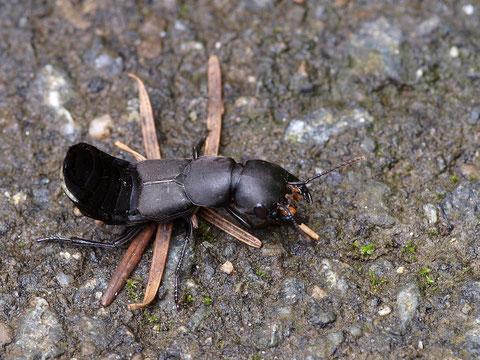 Schwarzer Moderkäfer in Abwehrhaltung. Bei Bedrohung spritz er dem Angreifer ein stinkendes und beissendes Sekret entgegen.