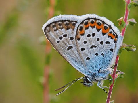 Ein Argusbläuling, eshandelt sich um ein männliches Tier. Argusbläulinge gehören zu den Silberfleckbläulingen wegen den blauen, metallisch glänzenden Schuppen außen am Hinterflügel.