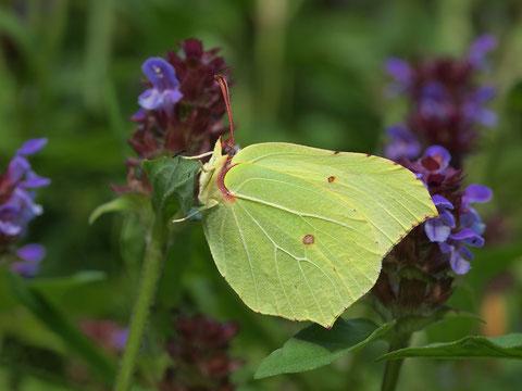 Beim Zitronenfalter sind nur die Männchen so intensiv gelb. Die Weibchen sind sehr viel blasser, man kann sie schon mal mit Kohlweisslingen verwechseln, nur die Punkte auf den Unterflügeln sind eindeutig.