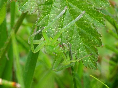 Dies ist tatsächlich keine exotische Art sondern der einzige Vertreter der Riesenkrabbenspinnen in Mitteleuropa: Die grüne Huschspinne. Sie ist nicht selten, zufällig sieht man sie selten, dazu ist sie zu gut getarnt.
