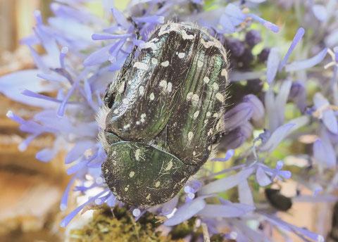 Trauerrosenkäfer sind schwarz, unter bestimmten Lichtwinkeln schillern sie grün auf.
