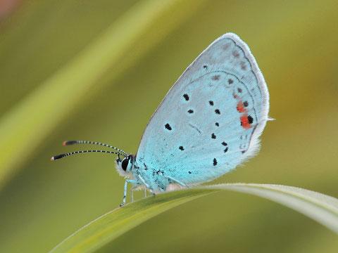 Der Kurzschwänzige Bläuling zählt trotz seines kleinen Schwänzchens am Flügel nicht zu den Zipfelfaltern.