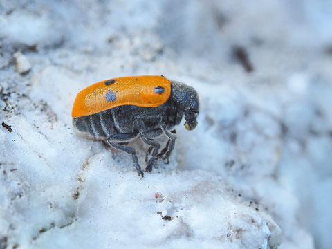 Ameisenblattkäfer. Dieser Käfer ist nicht mit dem vorher zu verwechseln.