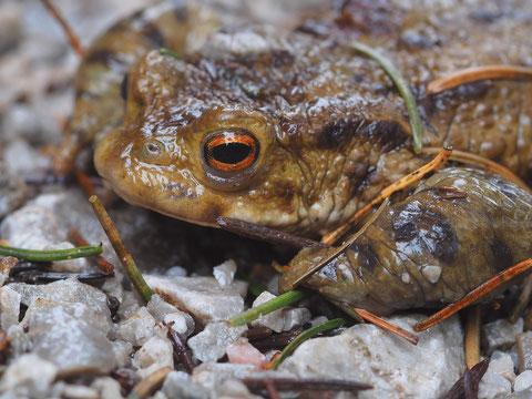 Die Erdkröte kennt bestimmt jeder. Für alle die dieses Tier hässlich finden: Schauen Sie sich die Augen an!