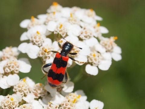 Bienenwolf. Der Name kommt bei diesem Käfer und bei einer Wespenart vor.